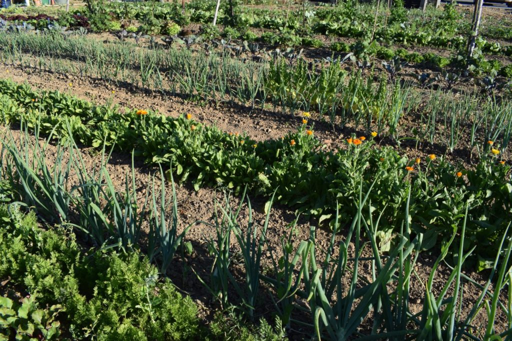 Gemüsereihen